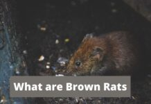What are Brown Rats
