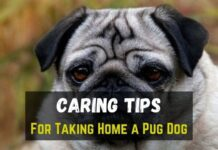 Pug Dog Caring Tips