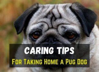 Pug Dog Caring Tips